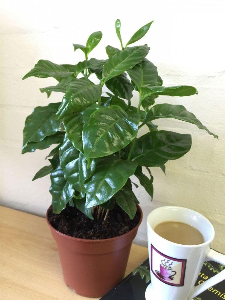 Как вырастить в комнате Арабский кофе - характеристика растения, и способы
