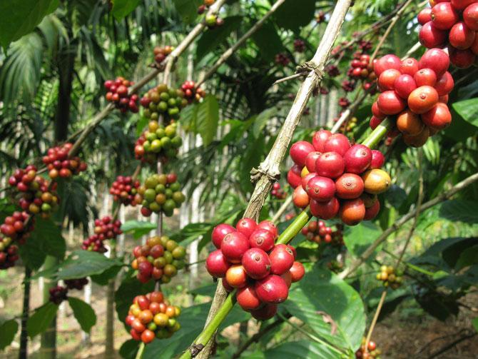 Спелые кофейные зерна