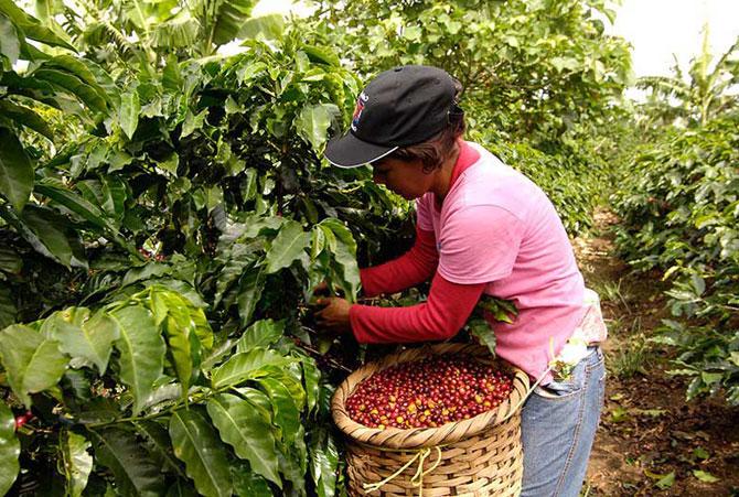 Женщина собирает ценный урожай