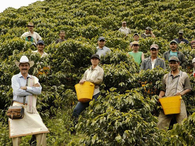 Сборщики зерен на плантации