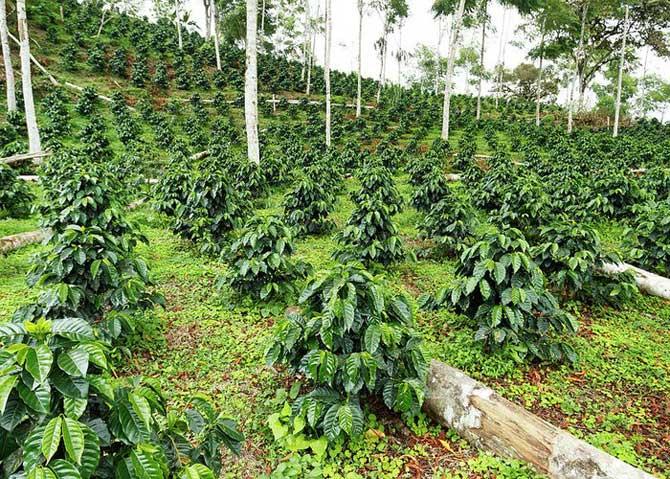 Молодые ростки кофейного дерева