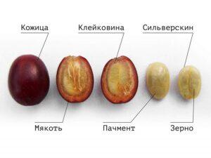 Что находится внутри кофейного фрукта