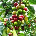 как кофе растет на дереве