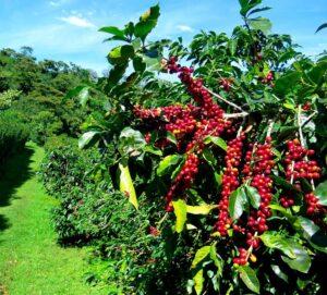 климат для кофейного дерева